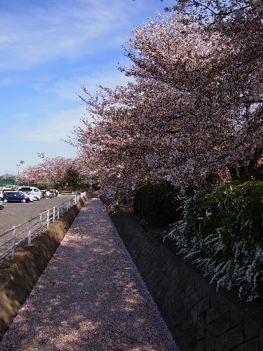 110417sakura.jpg